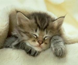 Perzische-kitten-aan-het-slapen